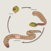 Life Cycle of an Earthworm