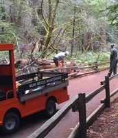 Muir Woods maintenance staff slices rounds from a fallen tree  for dendro-chronology