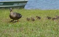 Female Mallard and baby ducks