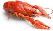 Crayfish Background Information