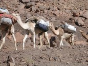 Goats, sheep and camels etc. were domesticated