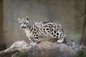 Snow Leopard in North America