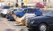 Dubai Pet