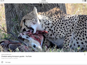 Cheetahs Diet