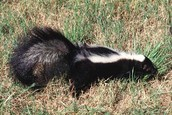 All About Skunks
