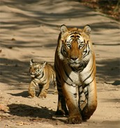 mother tiger teaching its cub to hunt