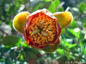 Herbaceous Perenial