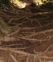 Roots Holding Down Soil 1
