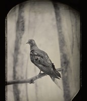 Passenger pigeon in the 1900s