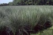 Black Needlerush Grass