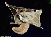 You can Adopt a Flying Squirrel