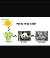 The food chain of a Giant Panda