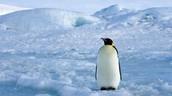 Lone Penguin.