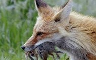 Red Fox Eating Two Mice