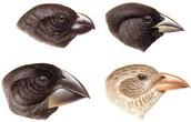 Beak variations