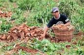 Cassava farmed in Sierra Leon