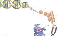 Строение хромосом