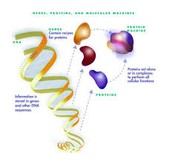 Protein Production of the DNA