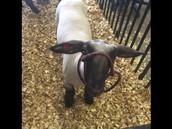 Lamb Visit!