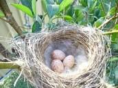 three noisy miner eggs