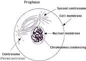 Phrophase