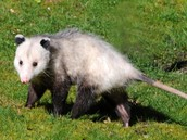 Opossum Removal Expert in Los Angeles