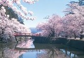 Sweet Serenity Among the Cherry Blossoms