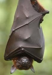 Rousettus aegyptiacus----African Fruit Bat