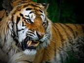 How does a Tiger adapt to survive?