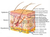 What is  the integumentary system