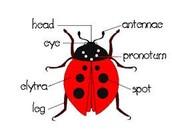 Ladybug Diagram