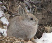 The World's Smallest Rabbit or Hare