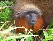 Titi monkey in the Amazon Rainforest