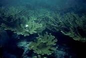 Shelf reef