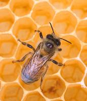 wax making bee