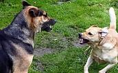 inprenting bij hond