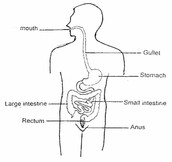 The digestive system consits of: