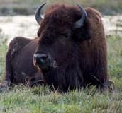 The Riding Buffalo