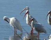 Wildlife of Pamlico Sound