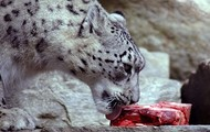 What snow leopards eat
