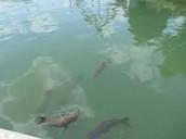 The Fish at Lake Winnie