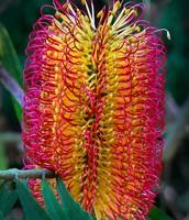 Banksia spp (banksia)