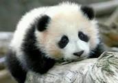 Panda Bear Cub <3