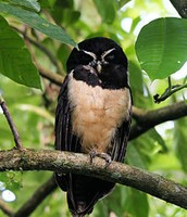 Female Spectacled owl.