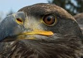 pennselvainya has the red tail hawk and white tail hawk and the founder is wilieom penn