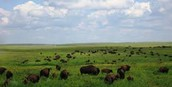 Herds of Bison