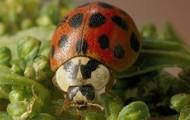 Ladybird Beetle - Ladybug