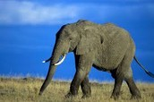 Arabian Elephant