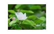 Otra flor del membrillo