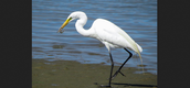 https://mentalhealthed.files.wordpress.com/2012/06/great-egret-with-fresh-catch-of-the-day-3.jpg